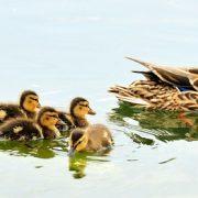 mallard-ducks-934518_640