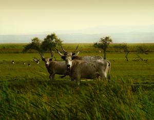 Afrika lässt grüßen: Steppenrinder im Seewinkel, Burgenland.